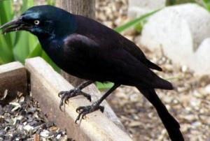 The-Crow-Raven-300x202