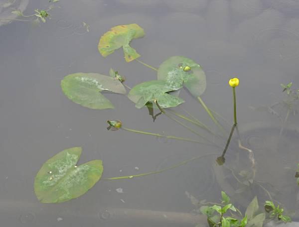 台灣萍蓬草- 雨之花