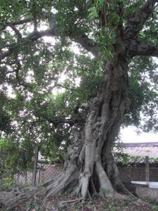 藝想田開民宿-具意義的大樹.jpg