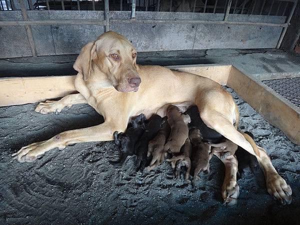 高山犬美麗的寶寶