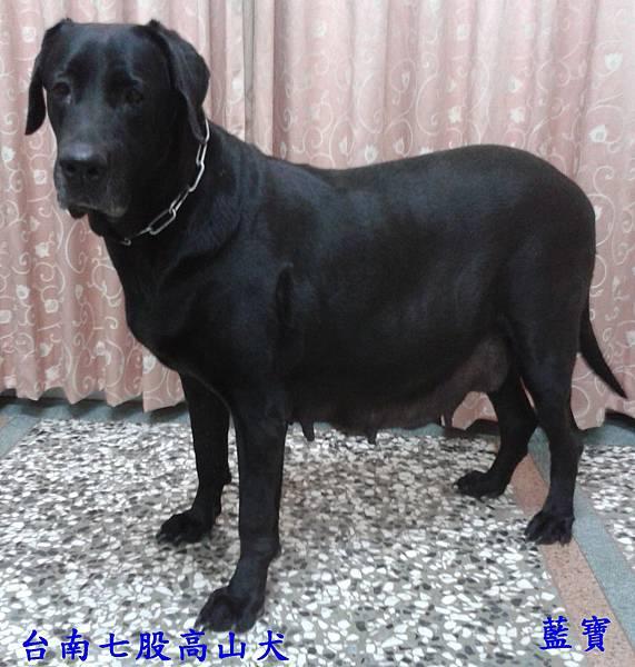 母高山犬 藍寶-4