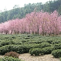 山坡茶園櫻花林.JPG