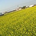 金黃的花海