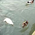 黑天鵝、白鷺、綠頭鴨、錦鯉魚