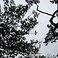 這裡松樹超美