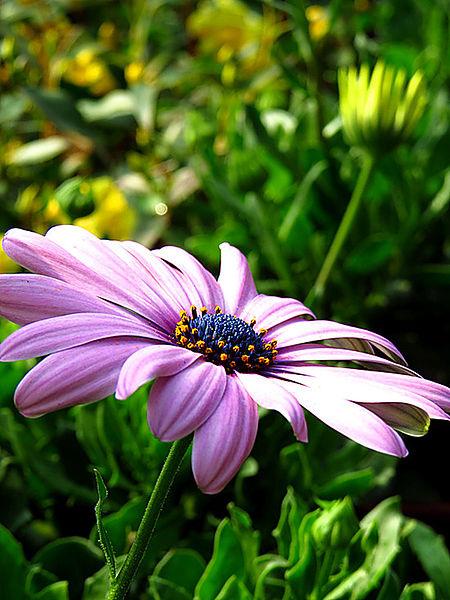 藍眼菊Blue-eyed daisy---筠媽攝影