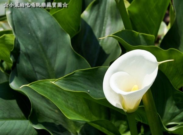 山中園:【台北】陽明山海芋季,遇見潔白單純的美好!