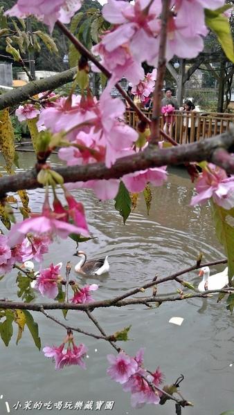 三空泉休閒農場:【台北】淡水櫻花祕境三空泉,春看櫻花夏螢火!