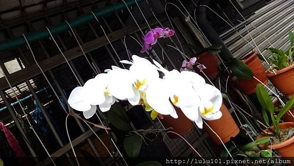 蘭花 (1)