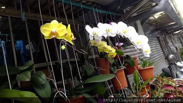 蘭花 (2)