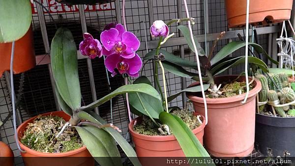 蘭花 (3)