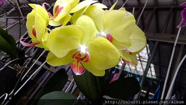 蘭花 (6)