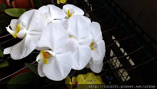 蘭花 (7)