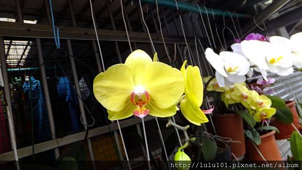 蘭花 (9)