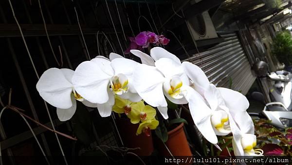 蘭花 (10)