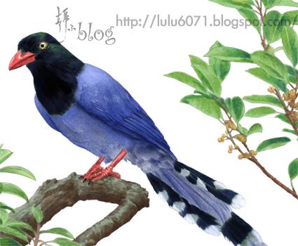 台灣藍鵲截圖