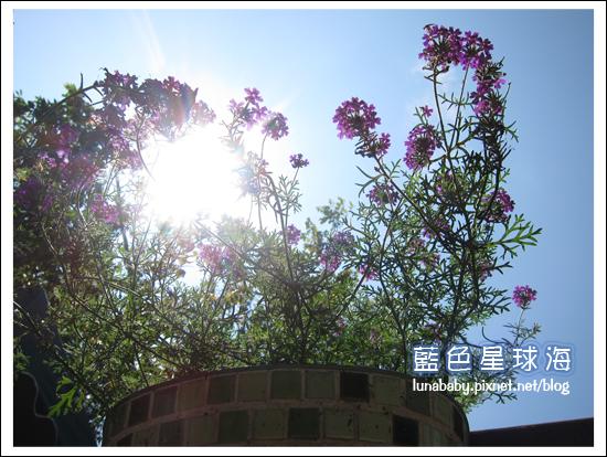 4y9m苗栗南庄39橄欖樹.jpg