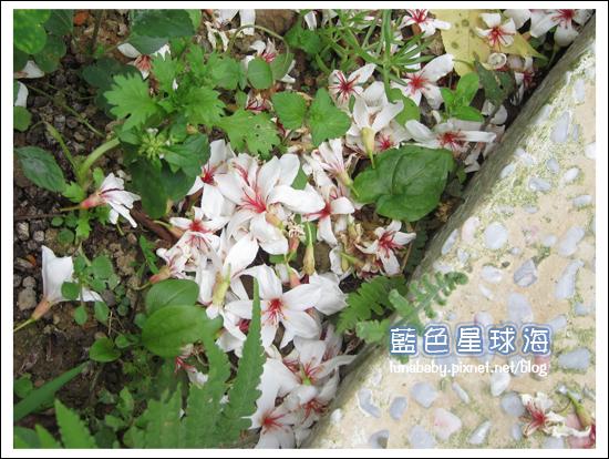 4y9m苗栗南庄54橄欖樹.jpg