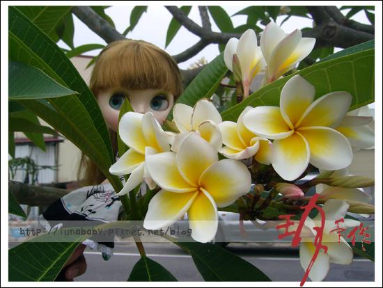 20100508綠川旁桐花05.jpg
