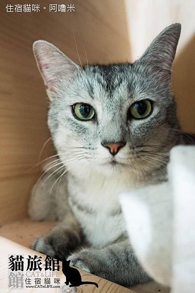 貓館64-住宿貓咪「阿嚕米」