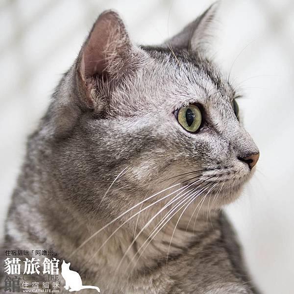 貓館63-住宿貓咪「阿嚕米」