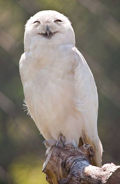 laughing_owls_01