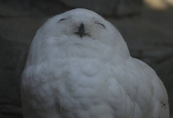 laughing_owls_03