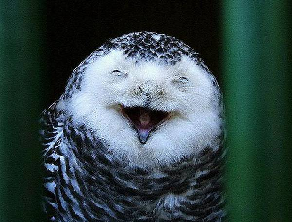laughing_owls_04