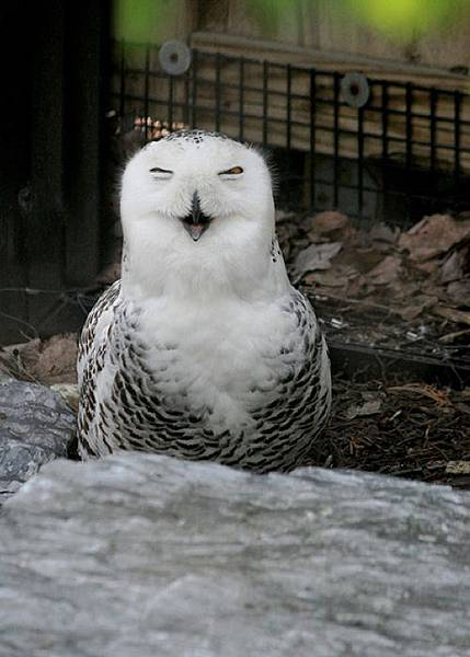 laughing_owls_09