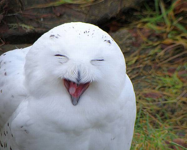 laughing_owls_10