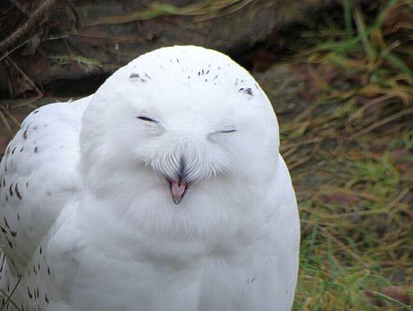 laughing_owls_19