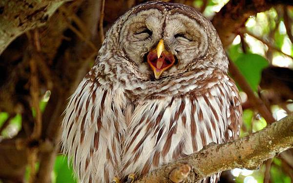 laughing_owls_24