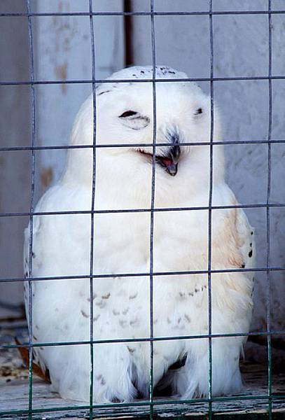 laughing_owls_26