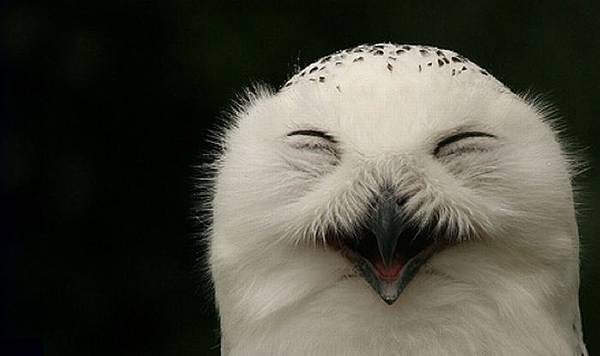 laughing_owls_25