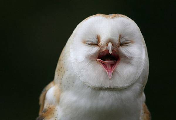 laughing_owls_28