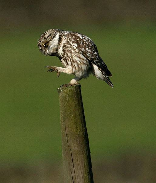 laughing_owls_29