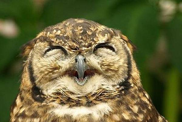 laughing_owls_31