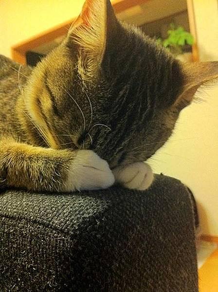 貓界最新流行睡姿~五體投地睡法05