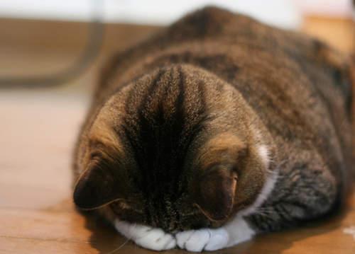 貓界最新流行睡姿~五體投地睡法09