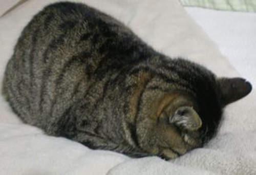 貓界最新流行睡姿~五體投地睡法11