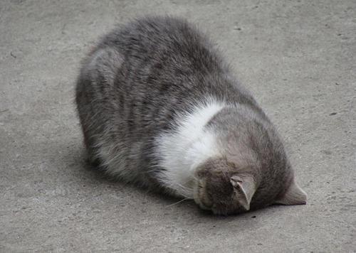 貓界最新流行睡姿~五體投地睡法18