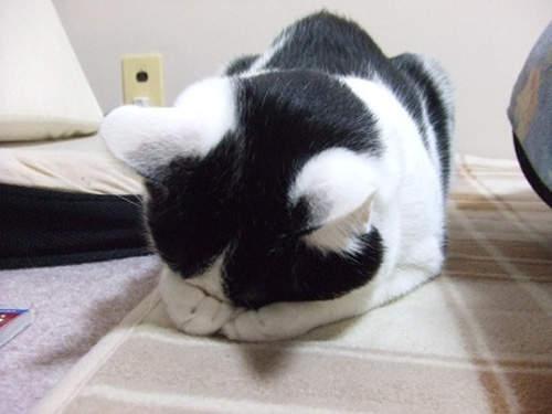 貓界最新流行睡姿~五體投地睡法25