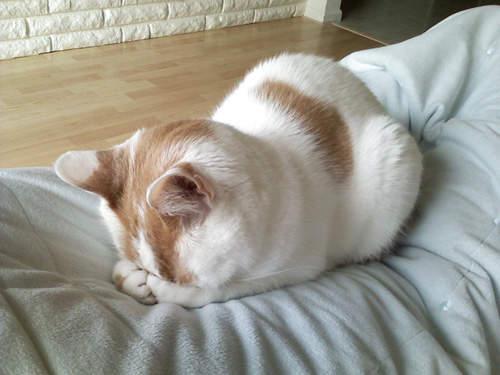 貓界最新流行睡姿~五體投地睡法24