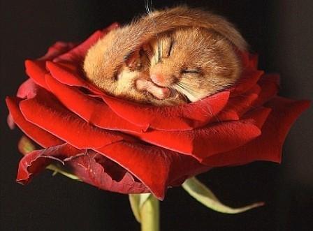 在玫瑰上冬眠的睡鼠