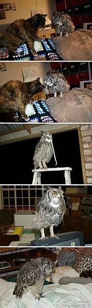 貓(頭鷹)的報恩