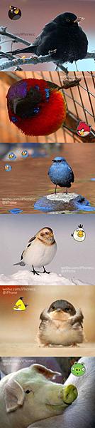 angry bird真鳥版