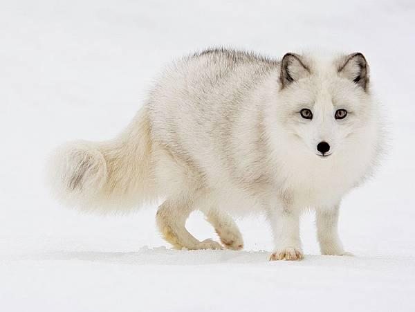 北極狐01