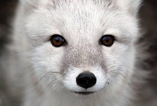 北極狐02