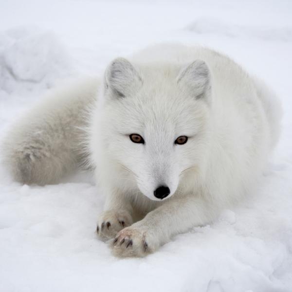 北極狐04