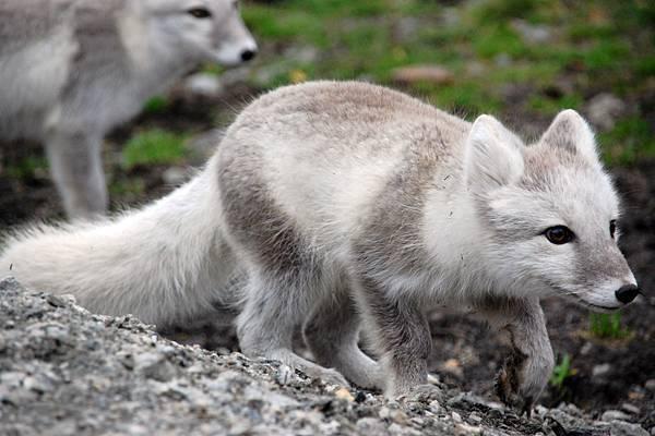 北極狐03